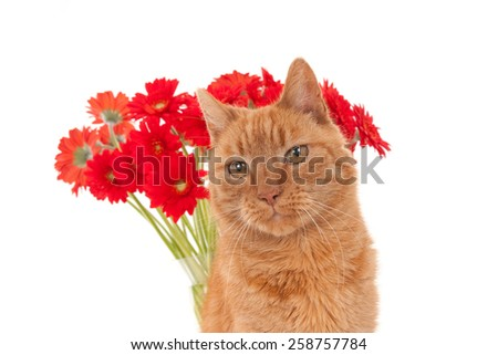 Face of a ginger cat in front of a vase with red and orange daisy flowers, isolated on white.