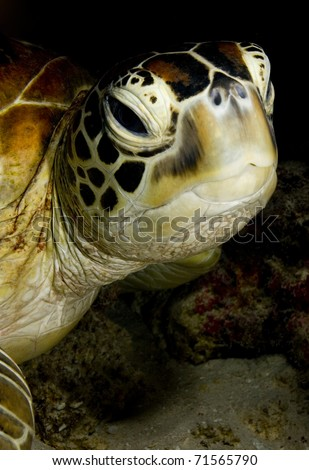 Face of a Green turtle (Chelonia mydas) resting in the coral reef. Taken in Sipidan, Borneo, Malaysia.