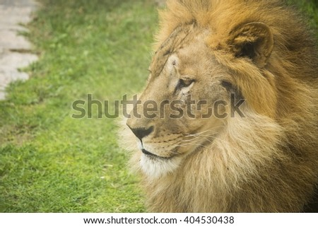 face of a male lion close up look - stock photo