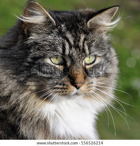 Face of a norwegian forest cat - stock photo
