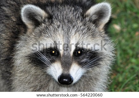 Raccoon Face Stock Images, Royalty-Free Images & Vectors ... Raccoon Face