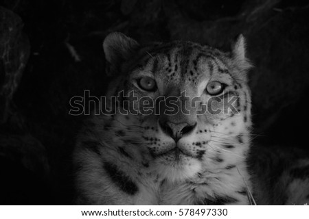 Face of a snow leopard