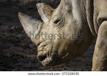 Face of an African white rhino with big horns stained with mud - stock photo