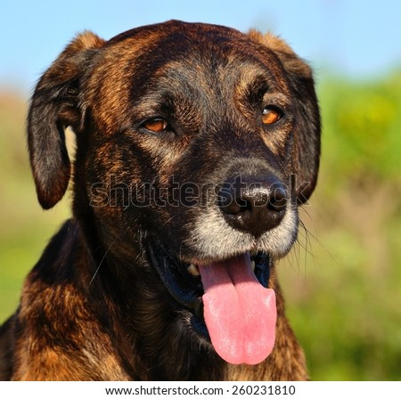Face of canary dog in foreground - stock photo