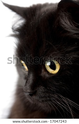 face of cute black cat