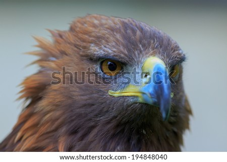 face of female golden eagle - stock photo