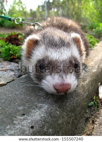 Face of ferret in the garden (Mustela putorius) - stock photo