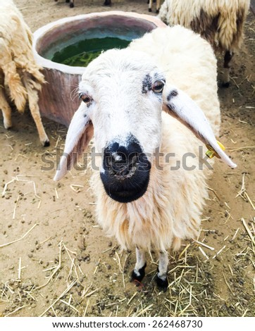 Face of goat