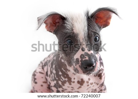 Face of Hairless Mexican Dog - stock photo