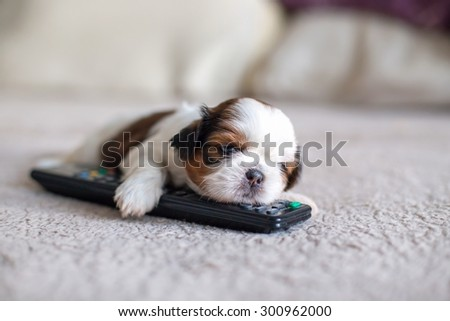 Face of little shih-tzu puppy with remote control - stock photo