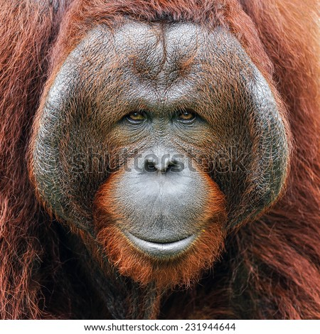 Face of orangutan. - stock photo