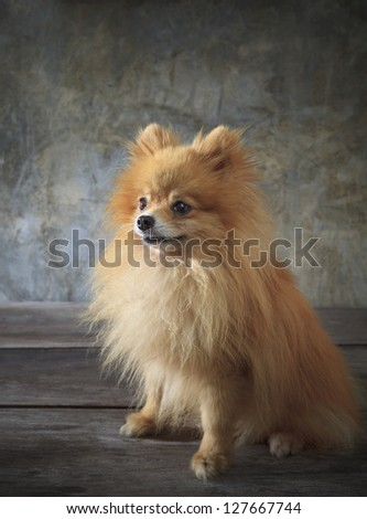 face of pomeranian dog sitting on wood floor - stock photo