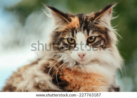 Face of purebred domestic cat outdoors on a sunny day.