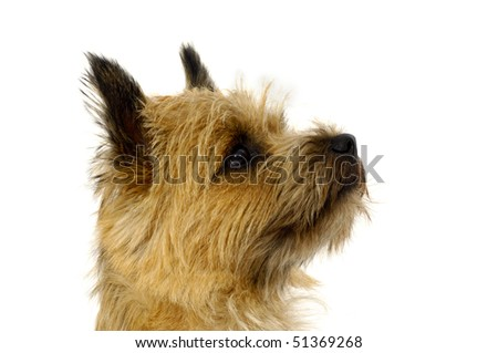 Face of sweet dog, taken on a white background. The breed of the dog is a Cairn Terrier. - stock photo