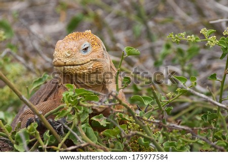 Face of the yellow Galapagos land iguana, North Seymour island, Galapagos, Ecuador - stock photo
