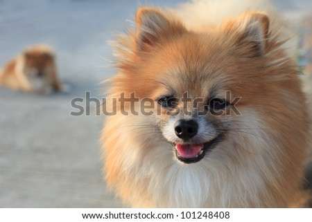 face of thinking pomeranian dog - stock photo