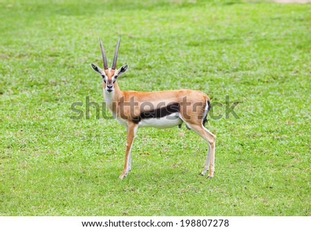 face of thomsona's gazelle  ,thomson gazelle standing on green grass field and looking to camera - stock photo
