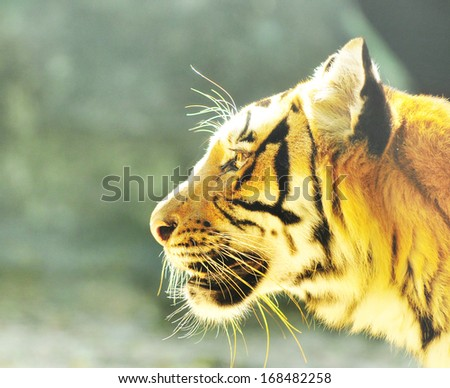 Face of tiger - stock photo