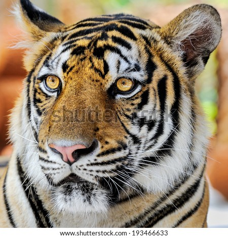 Face of tiger.
