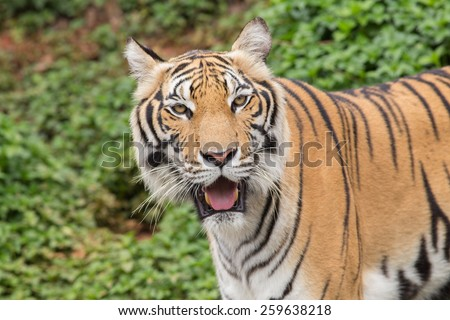 Face of tiger, trees background - stock photo