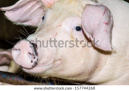 Face of white pig, Thailand - stock photo