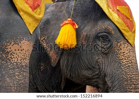 Face of young Asian elephant