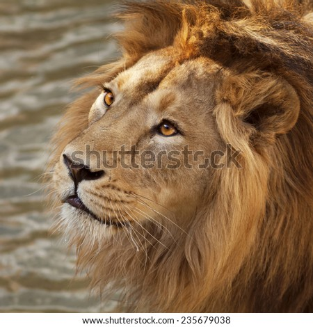 Face portrait of a beautiful young Asian lion on natural water background. King of beasts. Wild beauty of the biggest cat. The most dangerous and mighty predator of the world. Bright sunny portrait. - stock photo