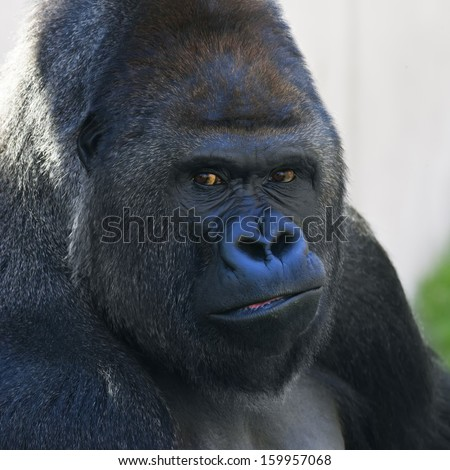 Face portrait of a gorilla male, severe silverback. Menacing expression of the great ape, the most dangerous and biggest monkey of the world. The chief of a gorilla family. - stock photo