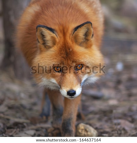 Face portrait of a red fox male in natural environment. The beautiful forest wild beast on blur background. Smart look of a dodgy vulpine. Eye to eye with one of the most grace wood inhabitant. - stock photo
