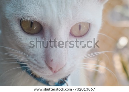 Face shot of White cat with yellow eyes.Wearing blue collar.