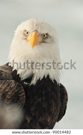 Face-to-face portrait of an North american bald eagle - Haliaeetus leucocephalus - stock photo