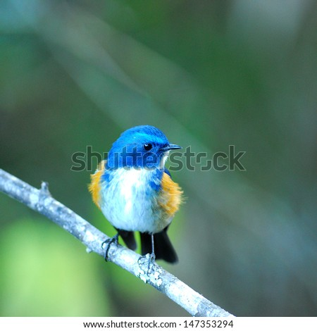Face up Blue Bird Himalayan Bluetail (Tarsiger rufilatus) or Orange-flanked Bush robin - stock photo