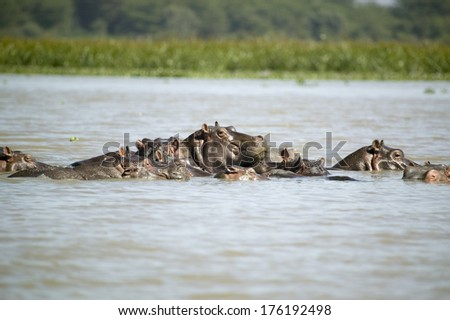 Faces of submerged school of Hippos in Lake Naivasha, Great Rift Valley, Kenya, Africa - stock photo