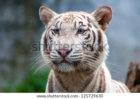 Faces of white tigers. - stock photo