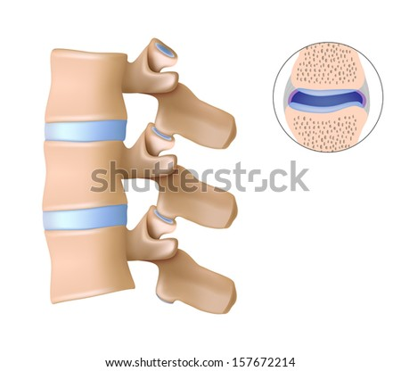 Facet joints - stock photo