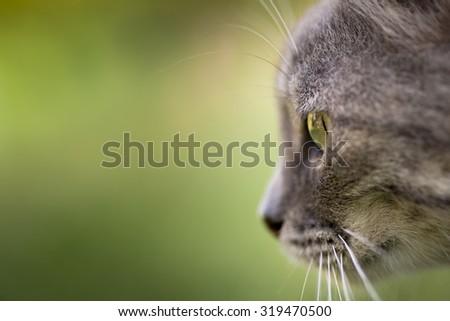 Facial close up shot of a gray cat. Close up shot of its eye. - stock photo