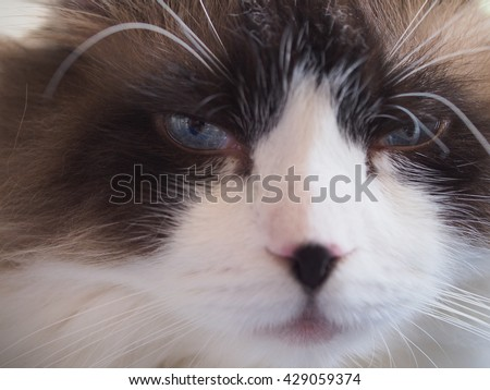 Facial Macro of Long Hair Bi Color Brown White Ragdoll Cat with Blue Eyes and Black Button Nose and Long Whiskers - stock photo