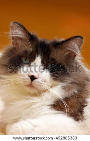 Facial Portrait of Regal Long Haired Bi Color Brown White Ragdoll Cat with Blue Eyes and Black Button Nose Laying on Floor Looking into Camera