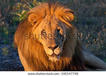 Facial shot of an old male lion lying in the African bush in golden morning light (Madikwe Game Reserve, South Africa)