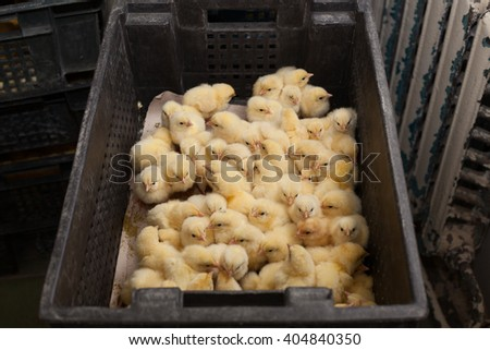 factory for the production of eggs and chickens. - stock photo