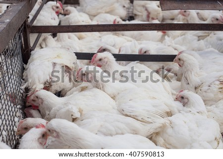 factory for the production of food products from chicken. cycle production process.