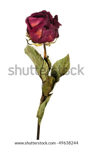 faded rose isolated on white background - stock photo