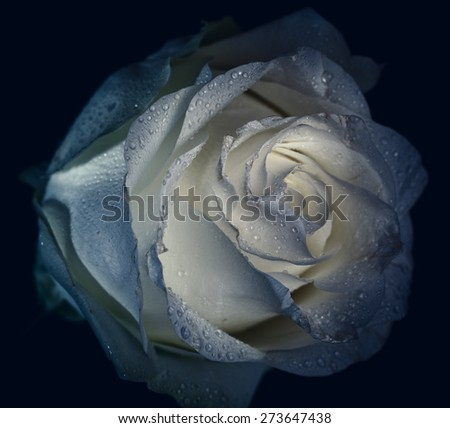Faded rose with water drops. Macro shot with shallow depth of field. Color toned image. - stock photo