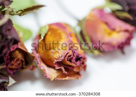 Faded roses on white background - stock photo