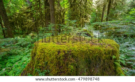 Fairy green forest.  Large stump was overgrown with moss. The sun's rays fall through the leaves. Iron Creek Campground trails, Mount St Helens - East Part