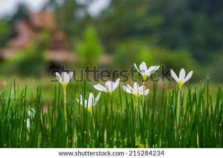 fairy lily flowers in the flower garden - stock photo