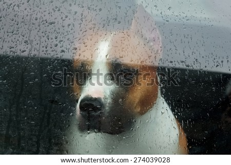 Faithful dog sitting in a car and looking through the glass - stock photo