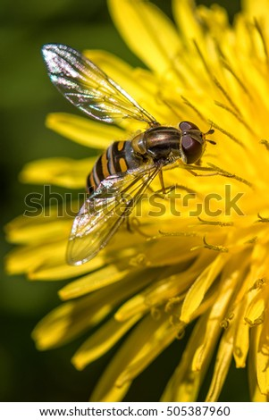 Fake bee / Volucella Zanaria
