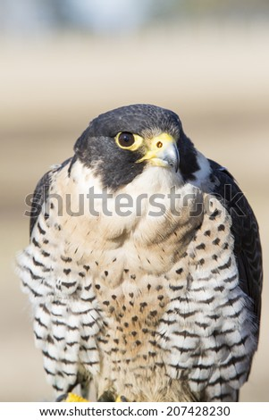 Falco peregrinus bird of prey, falconry. Fastest animal in the world. - stock photo