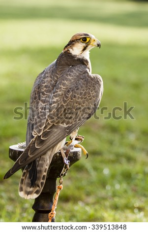 falcon bird - with green background